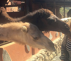 camel safari adventure gran canaria