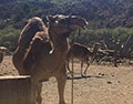 Camel Safari Adventure with bbq show